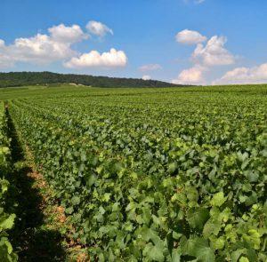Vignoble d'Ambonnay